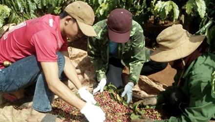 Ca phe rot gia, tien ty boc hoi hinh anh 1 Gia đình bà Lê Thị Hải thu hoạch cà phê.