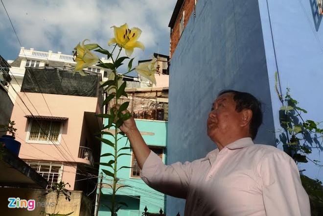 Cay hoa ly cao 2,5 m o Da Lat hinh anh