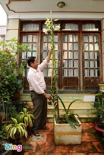 hoa ly cao 2, 5 m anh 1