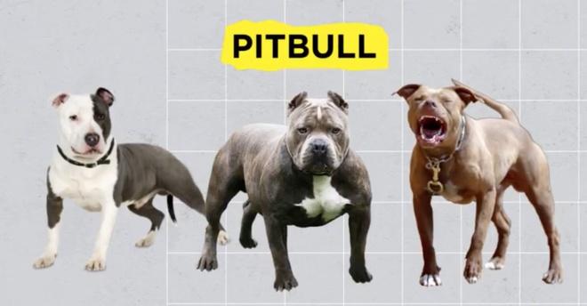 Vi sao Pitbull bi mang tieng la loai cho nguy hiem, can chet nguoi? hinh anh