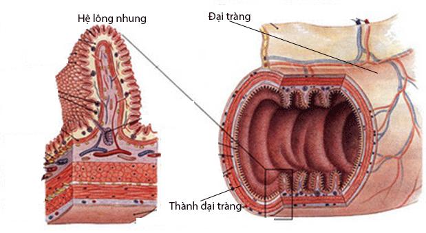 Lợi khuẩn Bifido cư trú trên hệ lông nhung – trợ thủ đắc lực bảo vệ đại tràng.