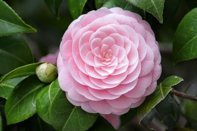 Nam Em: Những điều Thú Vị Về Hoa Trà My Có Thể Bạn Chưa Biết