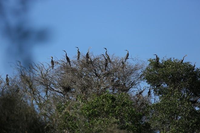 Vuon quoc gia Tram Chim dang hoi sinh an tuong hinh anh 2 Hơn 10.000 con chim điên điển đang sinh sống tại Tràm Chim.