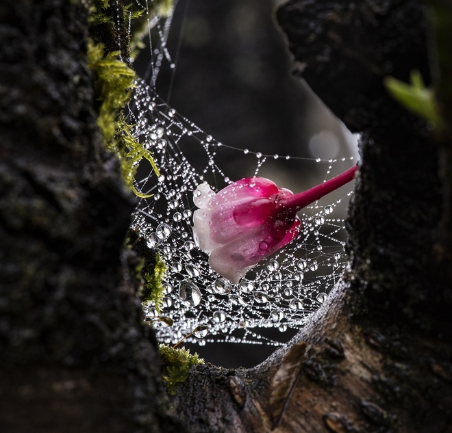 Ngam hoa dao chuong no trong suong som tai Ba Na Hills hinh anh 5