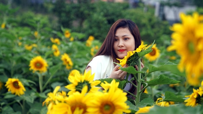 Ngon doi hoa huong duong duoi chan nui Fansipan hut khach tham quan hinh anh