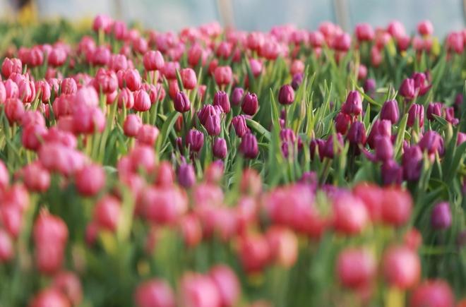 Check-in vuon hoa tulip da sac tua troi Au dip Tet hinh anh