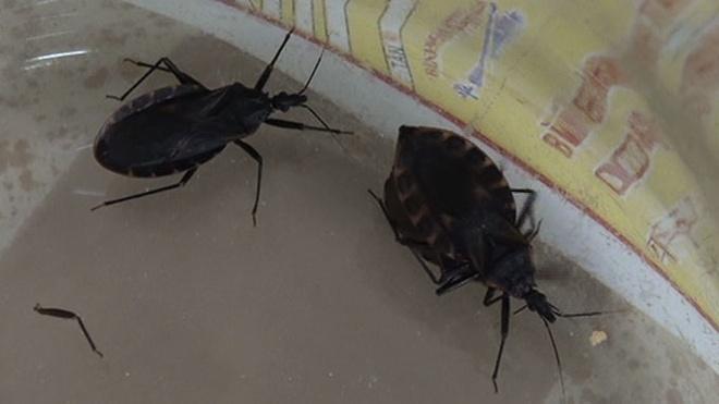 Bo xit hut mau nguoi xuat hien o TP.HCM hinh anh 1 Những con bọ xít bị gia đình ông Yến bắt trong nhà.