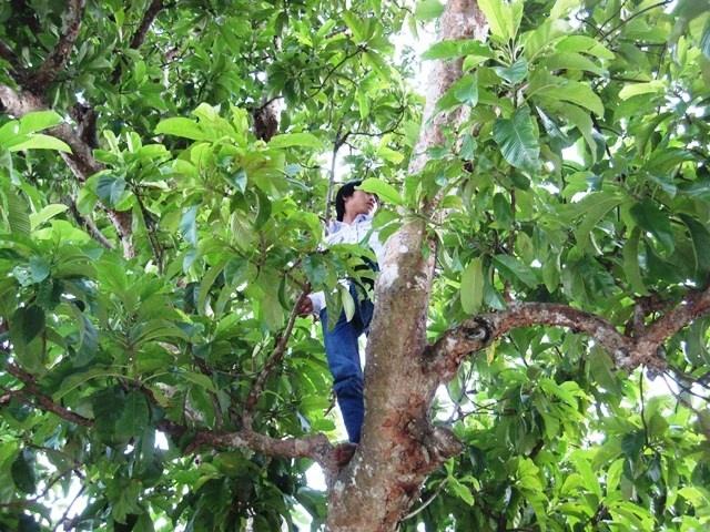 Người dân đang trèo lên một cây sổ để lấy quả.