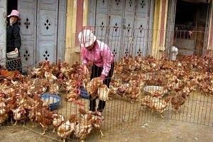Phat hien virus cum H5N6 tai Lao Cai hinh anh