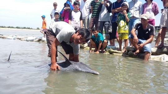Ca heo dai 1,6 m mac can tren bai bien Vung Tau hinh anh 1 Rất đông người dân đến xem cá mắc cạn.