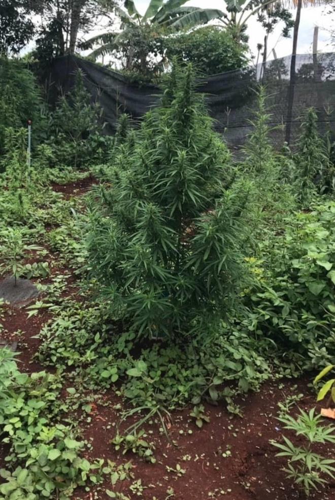 Phát hiện hơn 200 cây cần sa trồng trong vườn của người dân