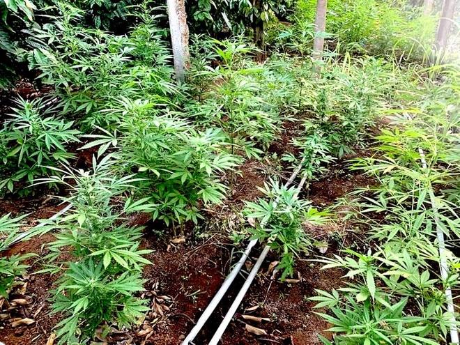 Trồng hơn 1.300 cây cần sa trong vườn - Pháp luật