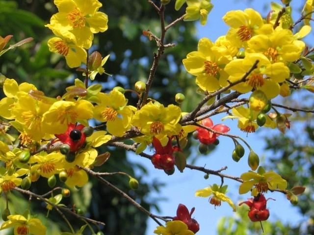 Le hoi hoa anh dao Ha Long lan dau co mai vang Yen Tu hinh anh