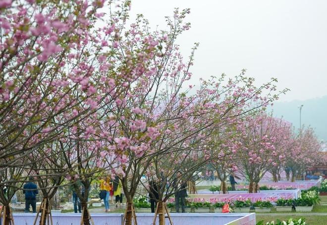 Le hoi hoa anh dao Ha Noi co 8.000 tinh nguyen vien hinh anh