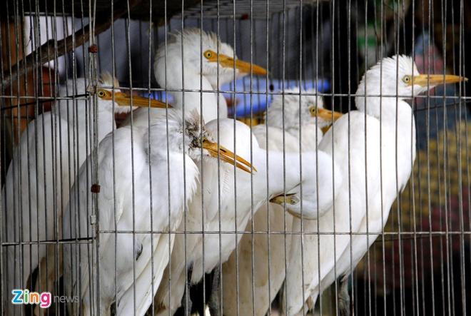 Cho chim troi 20.000 dong/con o cua ngo Sai Gon hinh anh 9 Và cả những chú cò trắng hiền lành cũng bị cắt cánh, nhốt trong những chiếc lồng chật chờ khách mua về làm thịt hay nuôi thả trong vườn.