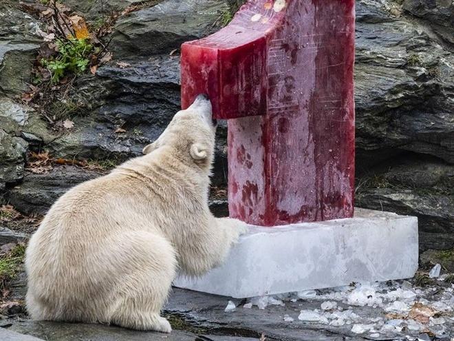 56 con gấu Bắc Cực 'xâm chiếm' ngôi làng ở Nga