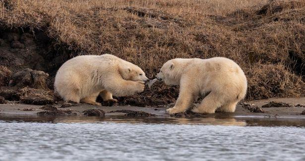 Buc anh gay chan dong o Alaska hinh anh 3 0_PAY-h_MDRUM_POLAR_BEAR_PLASTIC_CRISIS-10.jpg
