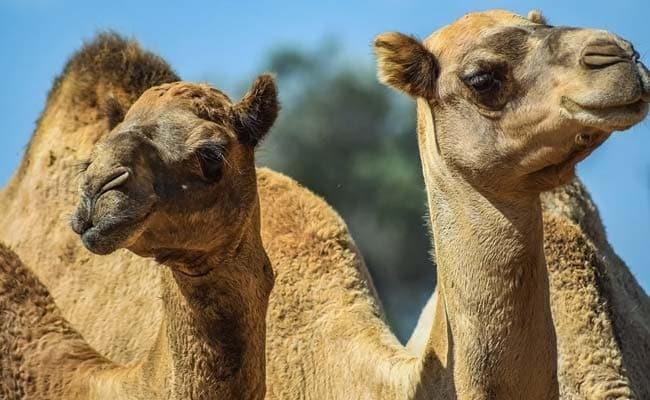 Lạc đà được đem tới Australia vào những năm 1840. Ảnh: NDTV.