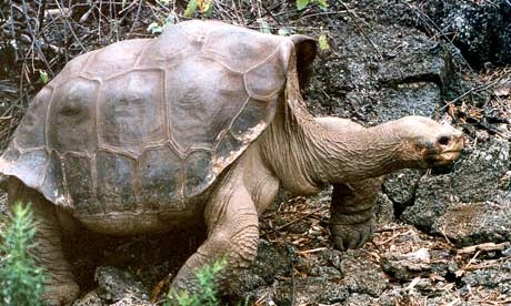 Tim thay hau due cua rua khong lo 'George co don' da tuyet chung hinh anh 1 Giant_tortoise_Lonesome_G_008.jpg