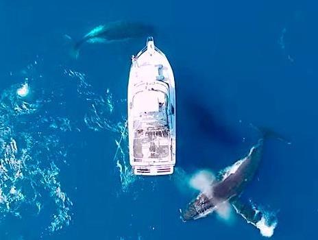 4 con cá voi lưng gù khổng lồ nhào lộn, tiến sát thuyền du khách