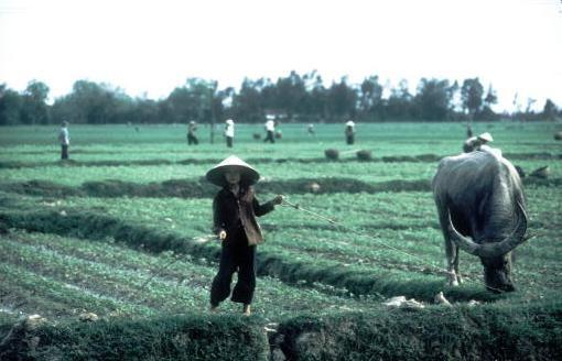 Viet Nam nhung nam dau thong nhat qua anh quoc te hinh anh 11 Một phụ nữ chăn trâu trong khi các nông dân khác đang làm việc trên cánh đồng ở ngoại ô Hà Nội.