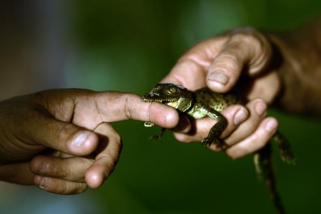 Ben trong khu bao ton sat thu dam lay o El Salvador hinh anh 4 Loài cá sấu đang có nguy cơ biến mất ở nhiều nước châu Mỹ do tình trạng săn bắt trái phép ngày càng gia tăng.