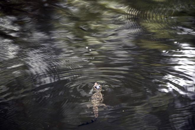 Ben trong khu bao ton sat thu dam lay o El Salvador hinh anh 8 Một con cá sấu bơi giữa dòng suối trong khu vực bảo tồn.