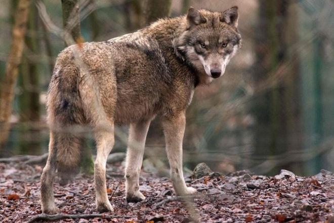 Một con chó sói trong vườn thú ở Đức. Ảnh minh hoạ: AFP.