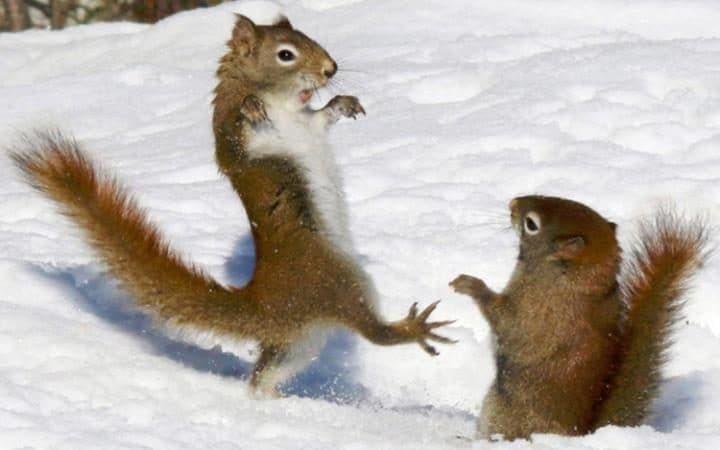 Trong khi đó, 2 chú sóc đỏ này dường như đang cùng nhau thực hiện một bài  biểu diễn võ thuật karate trên lớp tuyết dày ở công viên Alogonquin,  Ontario, ...