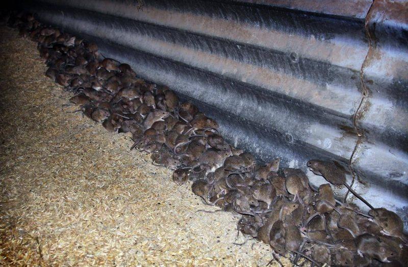 Thất thủ' vì thảm họa chuột, Úc quyết dùng hóa chất cực độc - Alô Úc | Báo  Alo Úc | Tin Tức Nước Úc | Báo Úc