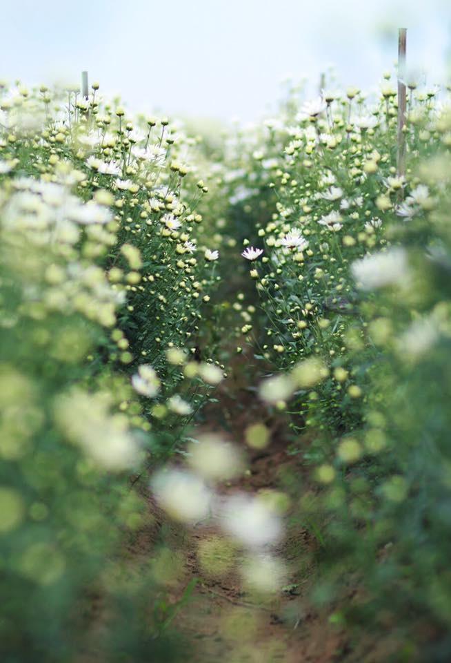 Xuyen xao mua cuc hoa mi don dong ve giua long Ha Noi hinh anh 19