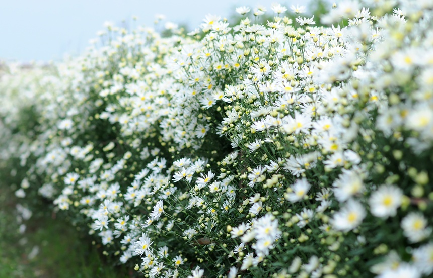 Xuyen xao mua cuc hoa mi don dong ve giua long Ha Noi hinh anh 44