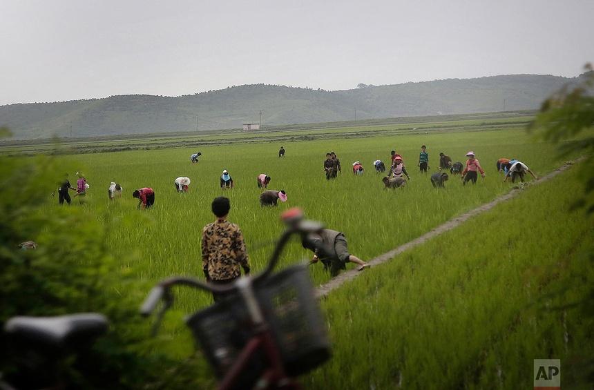 Nông dân Triều Tiền làm việc trên một cánh đồng lúa ở tỉnh Kangwon, miền đông Triều Tiên ngày 23 tháng 6 năm 2016. Trung tâm của Kangwon là Wonsan là một trong những thành phố được chọn là phát triển thành một điểm đến mùa hè cho người dân địa phương và khách du lịch.