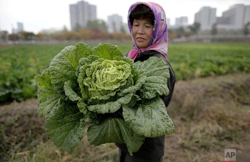 Một nông dân thu hoạch bắp cải để chế biến kim chi. Hình ảnh được chụp tại một trang trại trồng rau Chilgol ở ngoại ô Bình Nhưỡng ngày 24/10/2014.