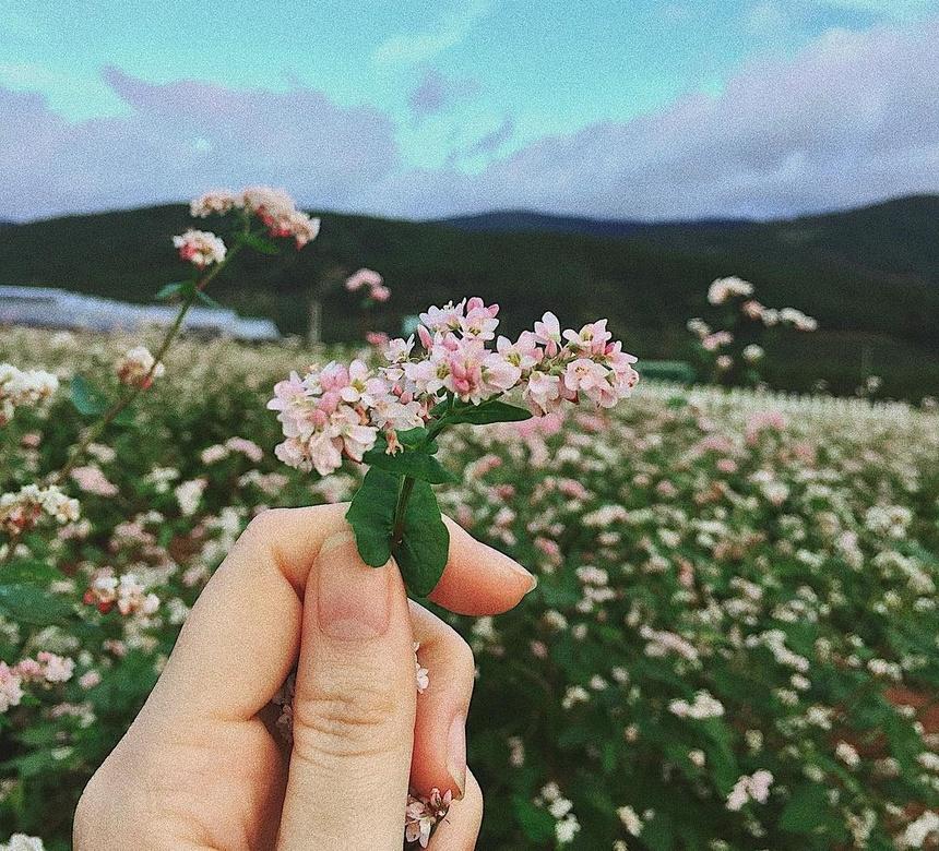 Rất nhiều địa điểm ở Hà Giang trồng hoa tam giác mạch như Hoàng Su Phì, Xín  Mần, Lũng Táo, Phố Cáo, Sủng Là, Đồng Văn, Lũng Cú..