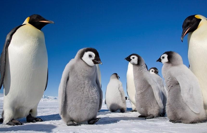 Kết quả hình ảnh cho cánh cụt hoàng đế