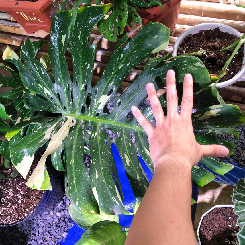 monstera anh 1